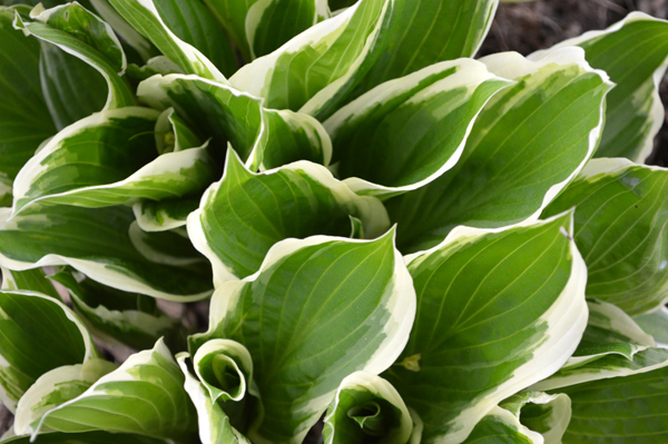 Swirling hosta leaves brighten the garden.