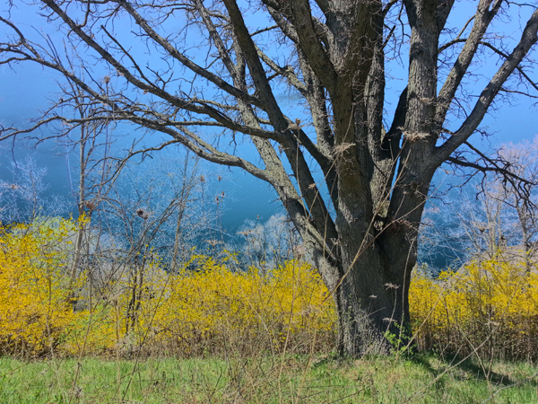 Oak and Forsythia