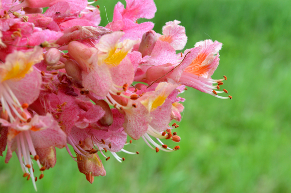Red Horse Chestnut Bloom