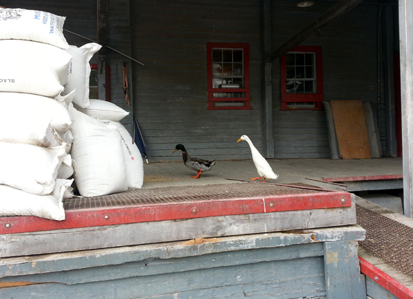 Straying from their pond at the Arva Flour Mill, a bold duck and white goose decide to have a snack on the loading dock where some feed is scattered.