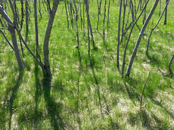 Spring Sumac