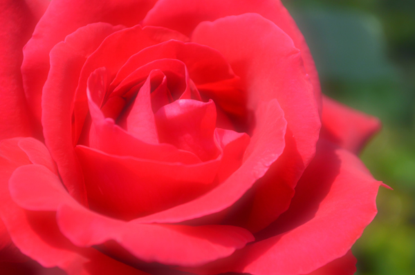 Dreamy Red Rose