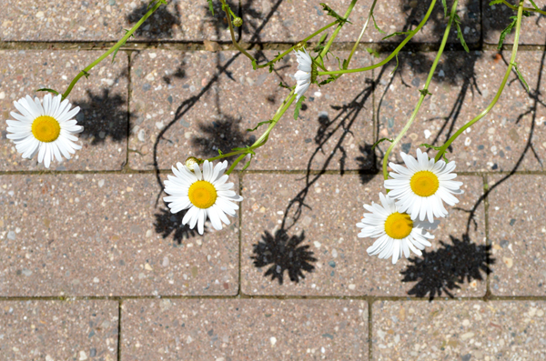 Sidewalk Daisies