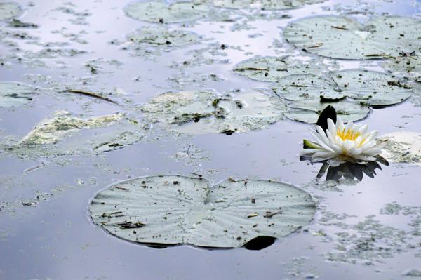 Sky Blue Lily Pads