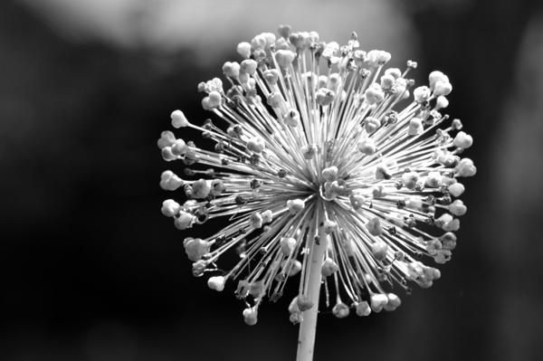 Allium Explosion