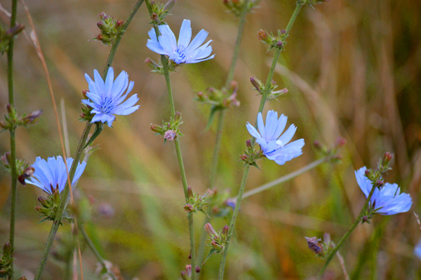 Baby Blue Chicory