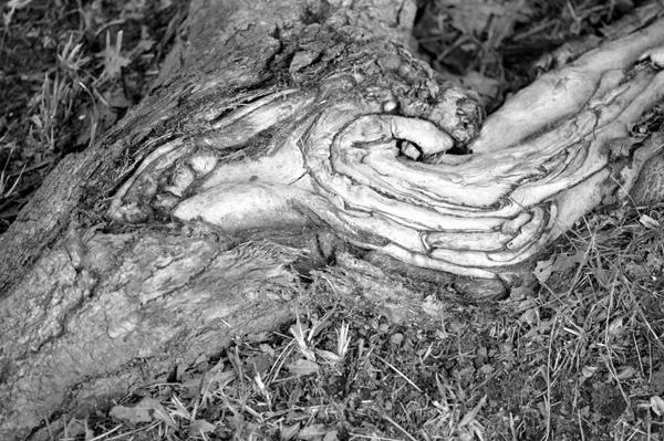 Maple Root