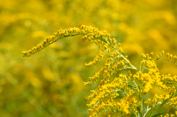 Goldenrod Patch
