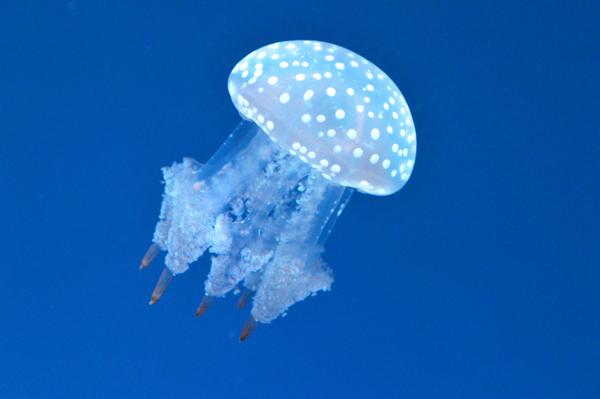 Australian Spotted Jelly