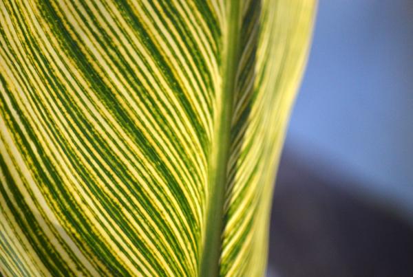 Lily Leaf