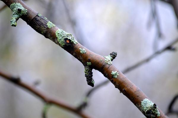 Pear Branch