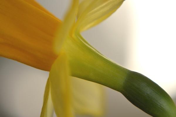 Daffodil Neck