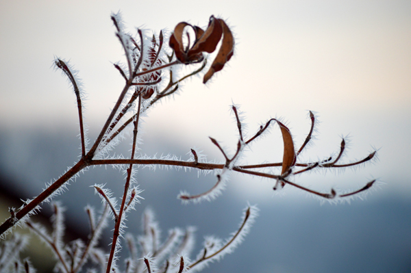 Frosted Dogwood