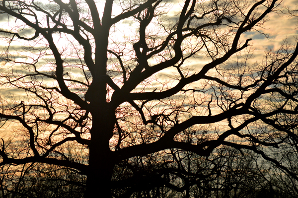 Oak Morning Silhouette
