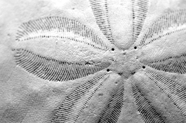 Sand Dollar Detail