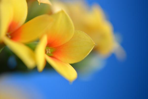 Yellow Kalanchoe