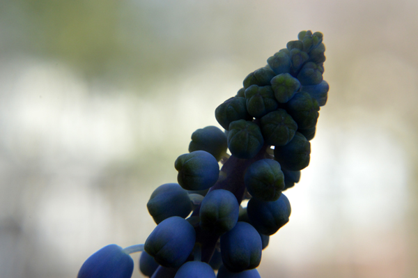 Grape Hyacinth II