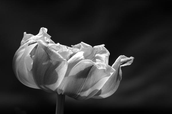 Tulip Beauty 1