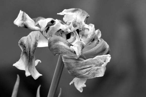 Tulip Beauty 2