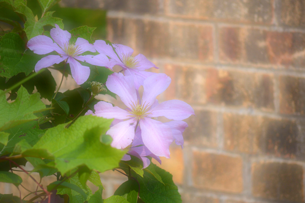 Purple Clematis and Brick