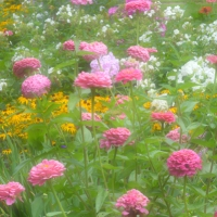 Pink Zinnia Dream