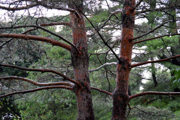 Two Dancing Pines