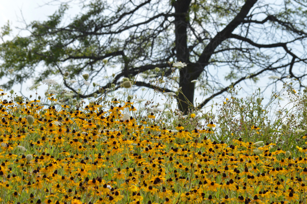 Swath of Susans