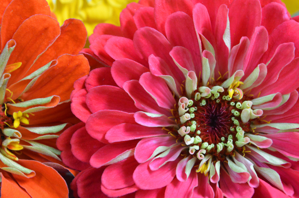 Zinnia Pink and Orange