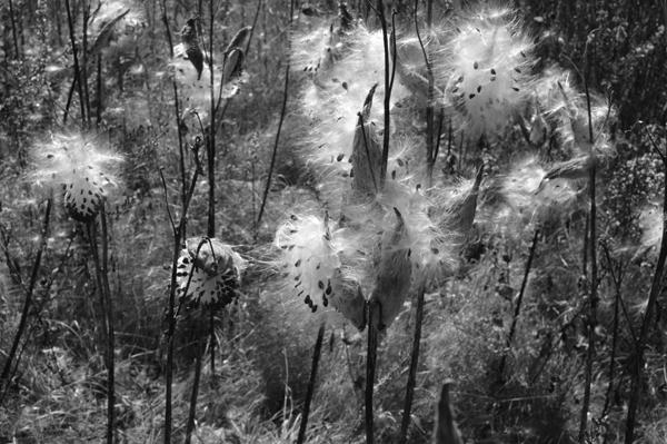 Milkweed Burst