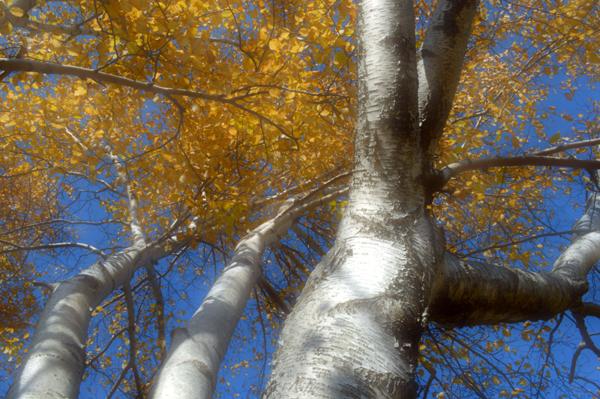 Reaching Birch