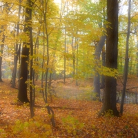 Soft Yellow Woods