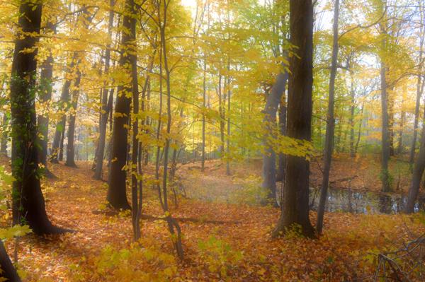 Soft Yellow Wood