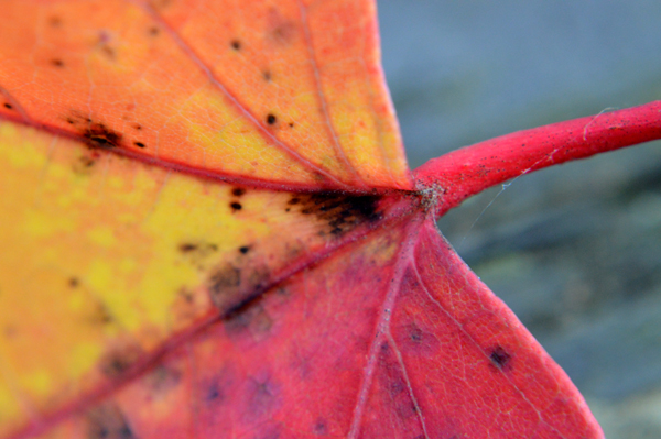 Red Leaf Stem