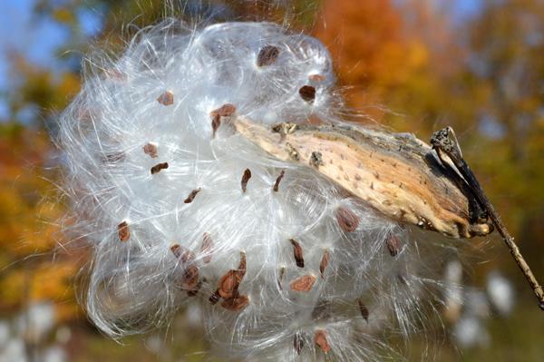 Sparkling Milkweed