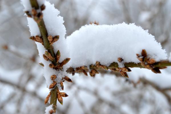 Snowy Forsythia