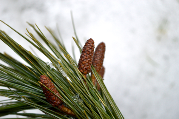 White Pine Buds