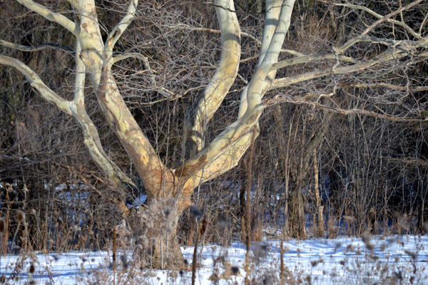 Winter Sycamore