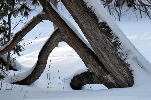 Cedar Dance