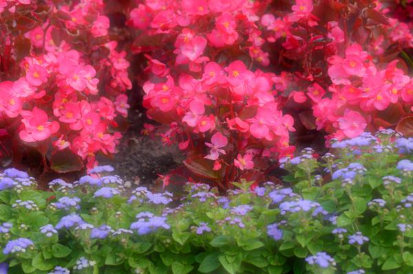 Late July Begonias