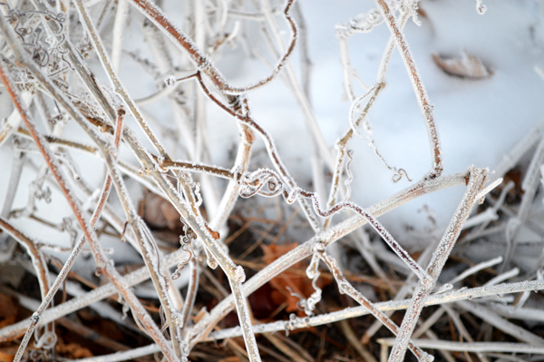 Frost Tangle
