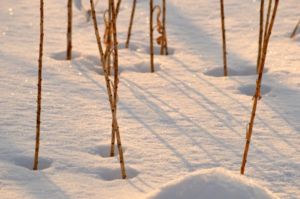 Winter Stems