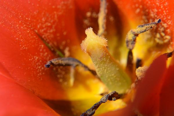 Sticky Tulip