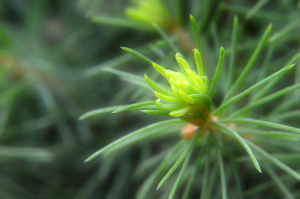 Alberta Spruce Bud