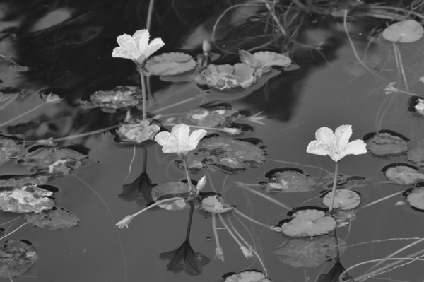 Black and White Water Lilies