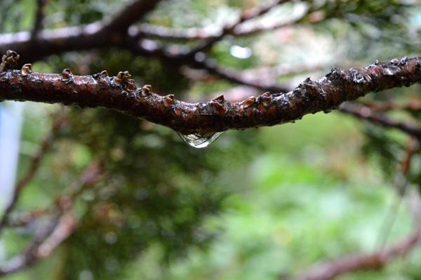Hinoki Branch