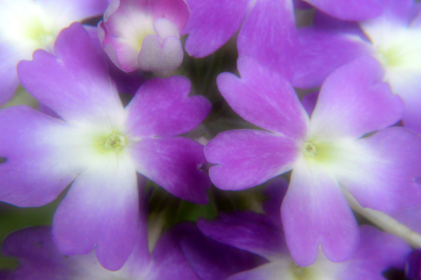 Soft Purple Verbena