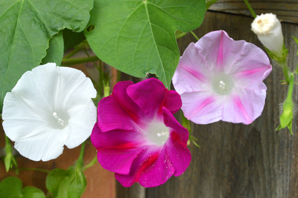 Purple and White Morning Glory