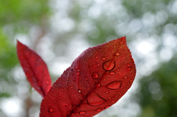 Rain on the Sandcherry