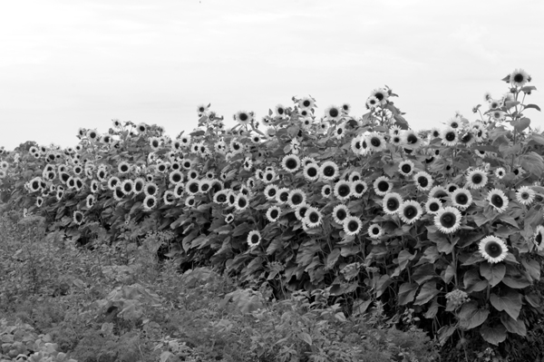 Swath of Sunflowers