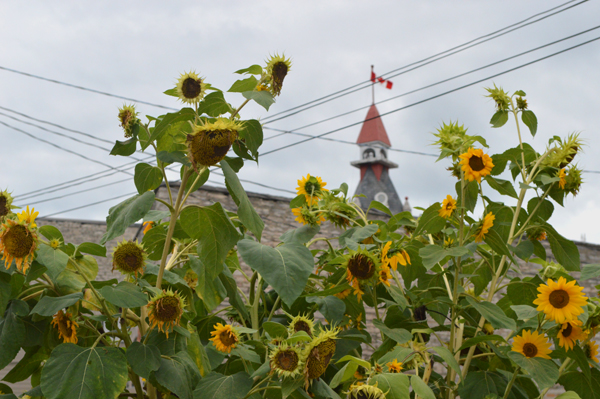 Downtown Sunflowers